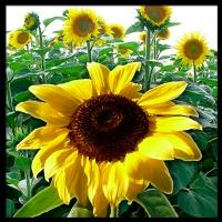 graphicill-sunflower