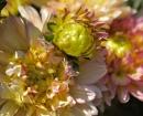 flower-dahlia
