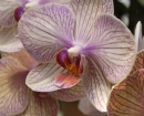 flower-orchid-b