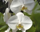 flower-white-orchids