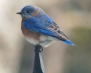 nature-blue-bird-post