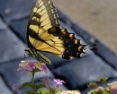 nature-tiger-swallowtail