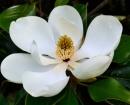 MagnoliaPlantation GardenMagnolia