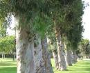 eucaliptus-trees