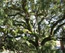 jekel-moss-tree