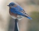 nature-blue-bird-post