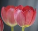 red-tulip