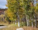 sbs-aspen-trees